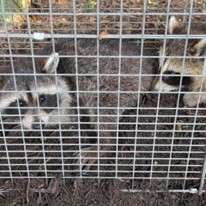A photo of two captured raccoons in a livetrap.