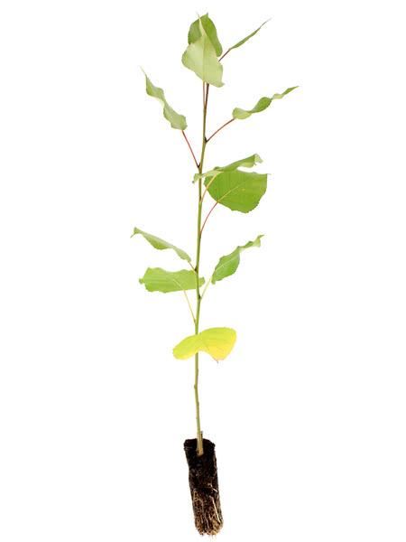 A balsam poplar seeding.